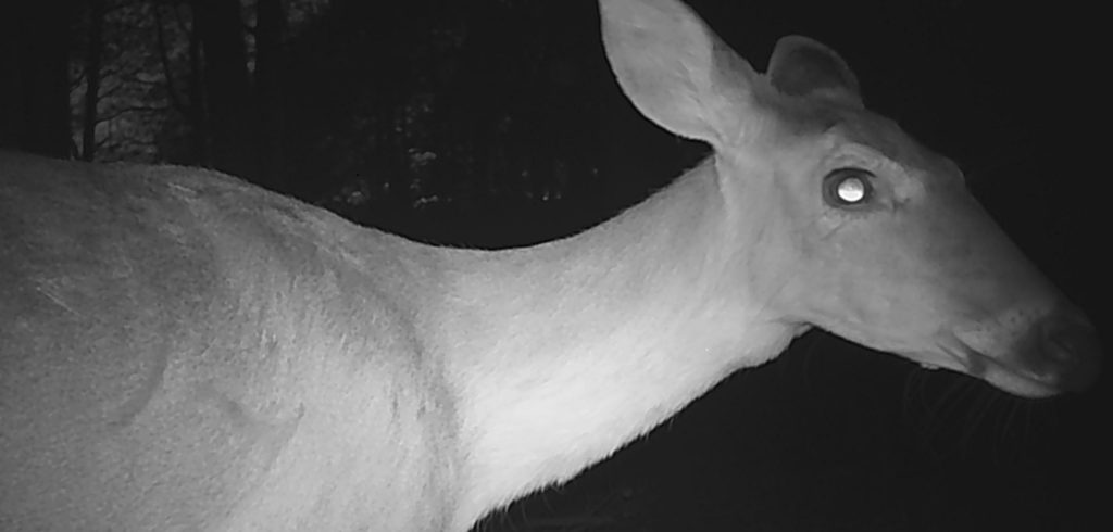whitetail doe on trailcam