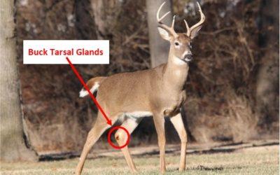 whitetail buck tarsal gland diagram