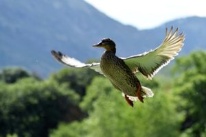 outdoor brands duck in flight