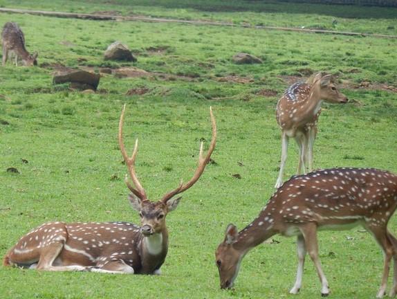 axis deer in a field