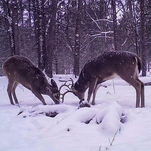 two bucks fighting with antlers in snow