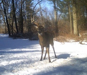 buck standing in snow with one antler