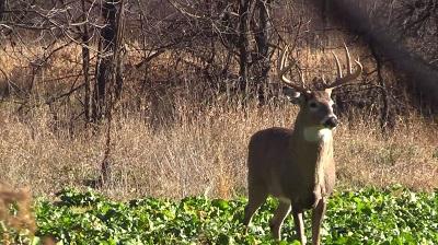 buck in food plot