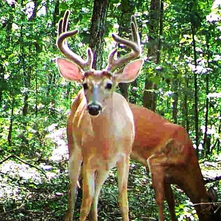 buck in velvet staring at trail camera