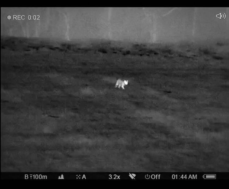 thermal image of coyote