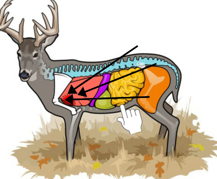 whitetail deer diagram standing broadside with vitals showing