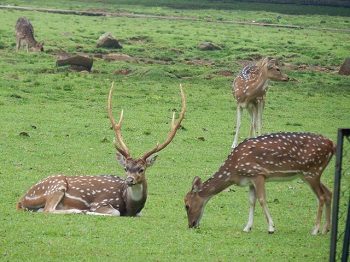 axis chital male and female