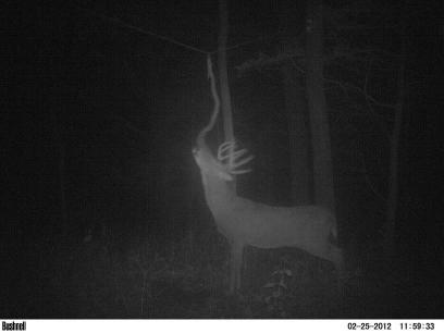 buck rubbing scent on a vine over a deer scrape