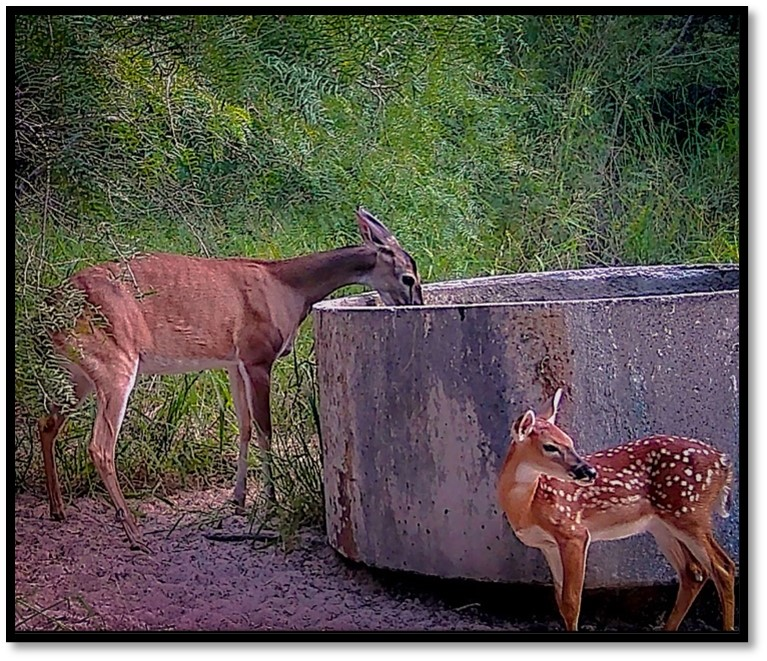 deer drinking with fawn